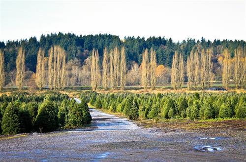 McMurtrey's Red-Wood Christmas Tree Farm
